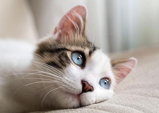 cat hypertension